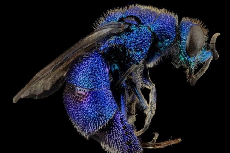 Plava Pčela